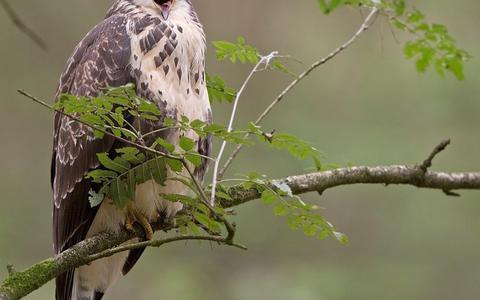Er zitten meer roofvogels in het Drents-Fiese Wold dan menigeen denkt.