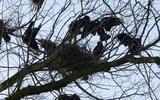 Roeken bezig met het bouwen van een nest.