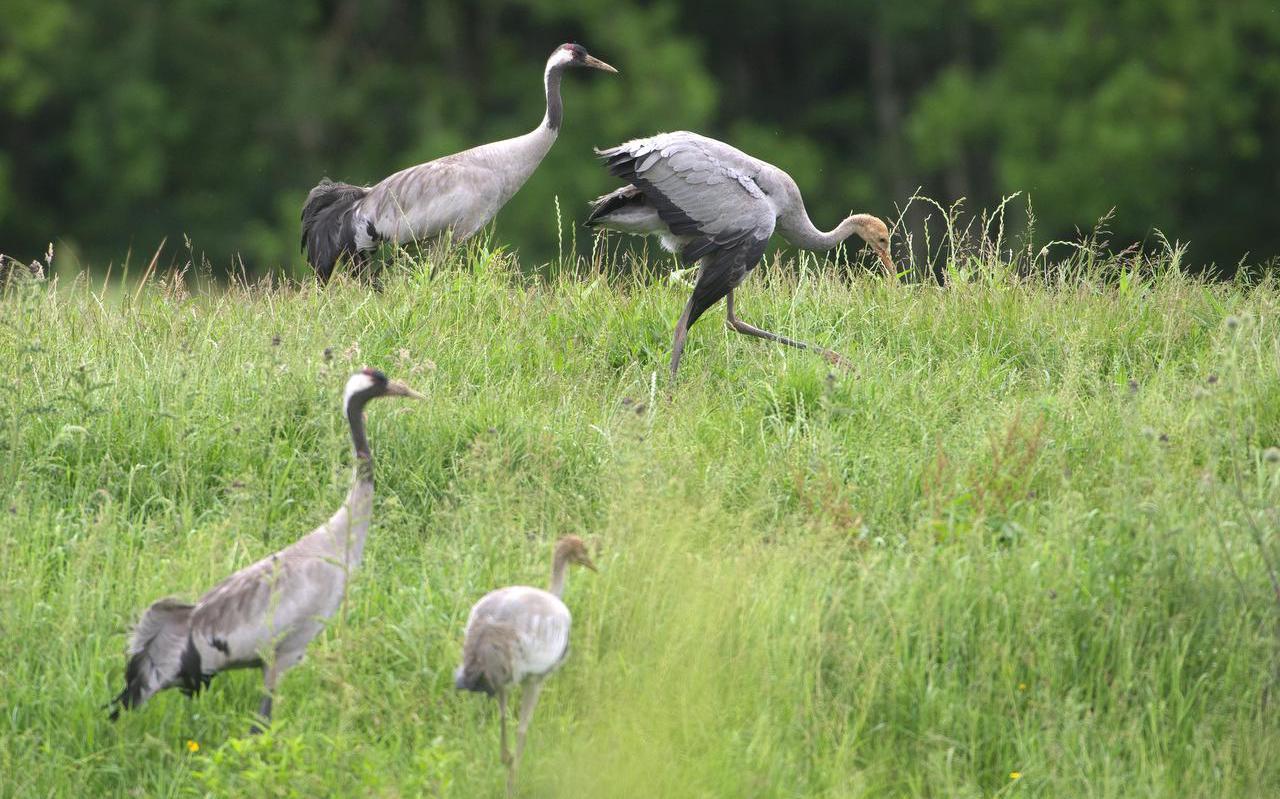 Een kraanvogelpaar in het Fochteloërveen bracht twee jongen groot. Een daarvan liep wekenlang rond met een afhangende rechtervleugel, maar vloog uiteindelijk wel uit.